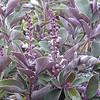 Vitex trifolia 'Purpurea' - foliage