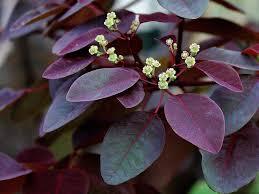 Euphorbia cotinifolia - foliage
