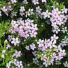 Coleonema pulchellum - flower