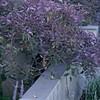 Vitex trifolia 'Purpurea'