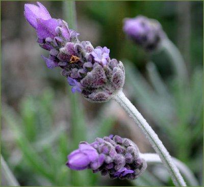 Lavandula dentata - flower