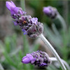 Lavandula dentata - flower