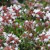 Abelia grandiflora - flower
