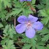 Geranium sanguineum 'Johnson's Blue' - flower