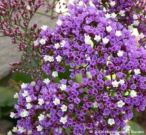 Limonium perezii - flower