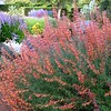 Agastache 'Sunset'