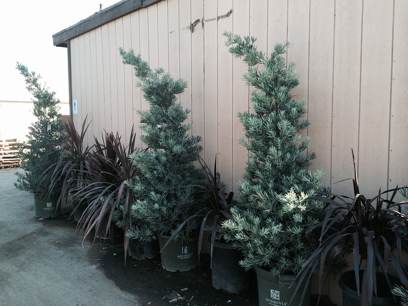 Podocarpus 'Icee Blue'