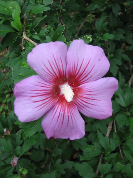 Hibiscus syriacus - flower