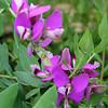 Polygala fruticose - flowers