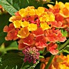 Lantana spreading Orange