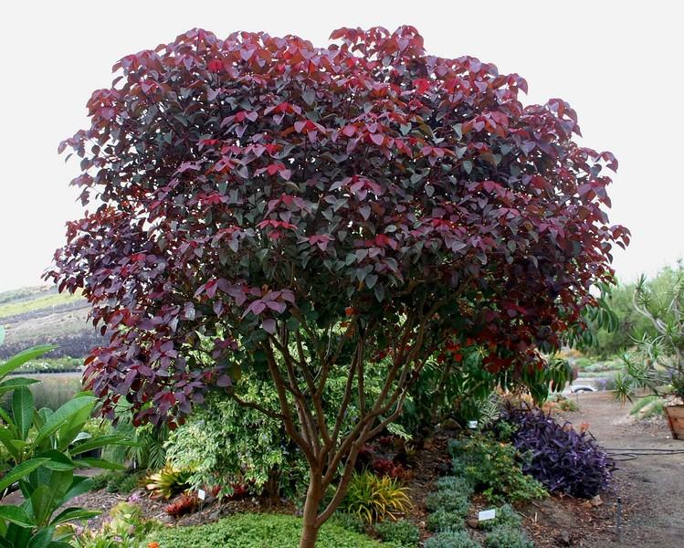 Euphorbia corinifolia