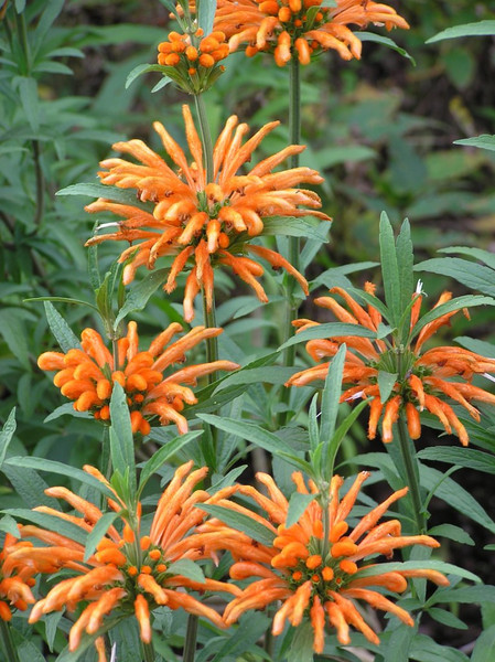 Leonotis leonarus - flower