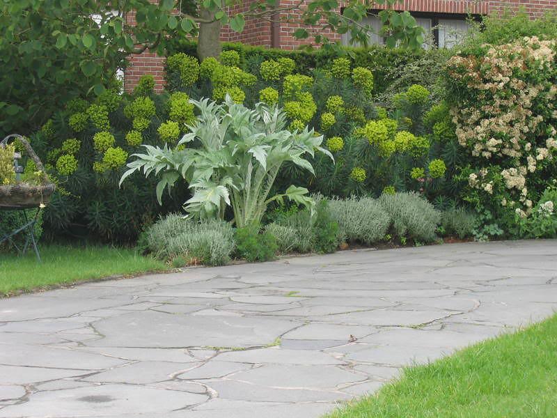 Euphorbia characias ssp. wulfenii and Artichoke