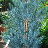 Podocarpus elongatus 'Monmal'