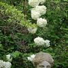 Viburnum ssp.