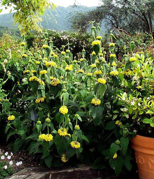 Phlomes 'Grande Verde'
