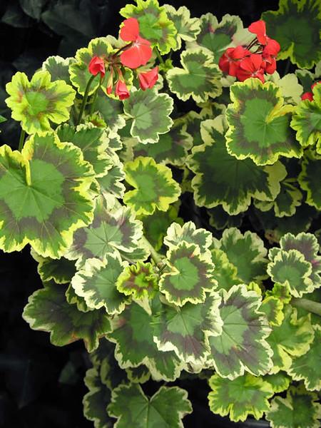 Pelargonium zonal - hybrid