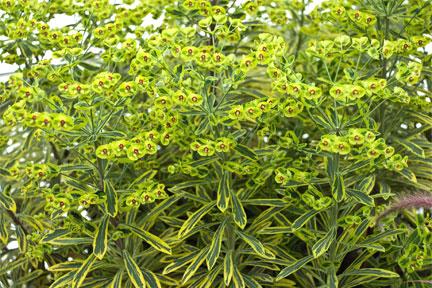 Euphorbia x martinii 'Ascot Rainbow'