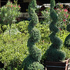 Juniperus chinensis 'Blue Point' - spiral