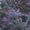 Acacia baileyana 'Purpurea' - foliage