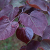 Cercis canadensis 'Forest Pansy' - foliage