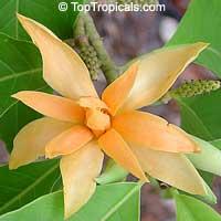Magnolia champaca (Michelia) - flower