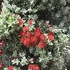 Metrosideros excelsa - foliage & flowers