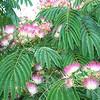 Albizia julibrissin - foliage