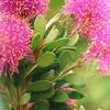 Melaleuca nesophila - flower