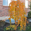 Prunus s. pendula