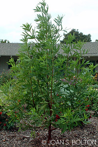 Lyonothamnus floribundus asplenifolius