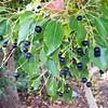 Cinnamomum camphora - fruit