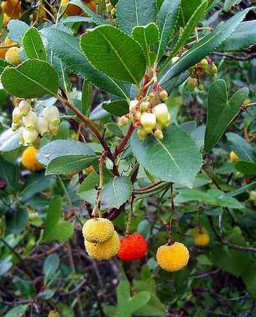 Arbutus unedo - fruit / flowers