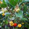 Arbutus unedo - fruit / flowers