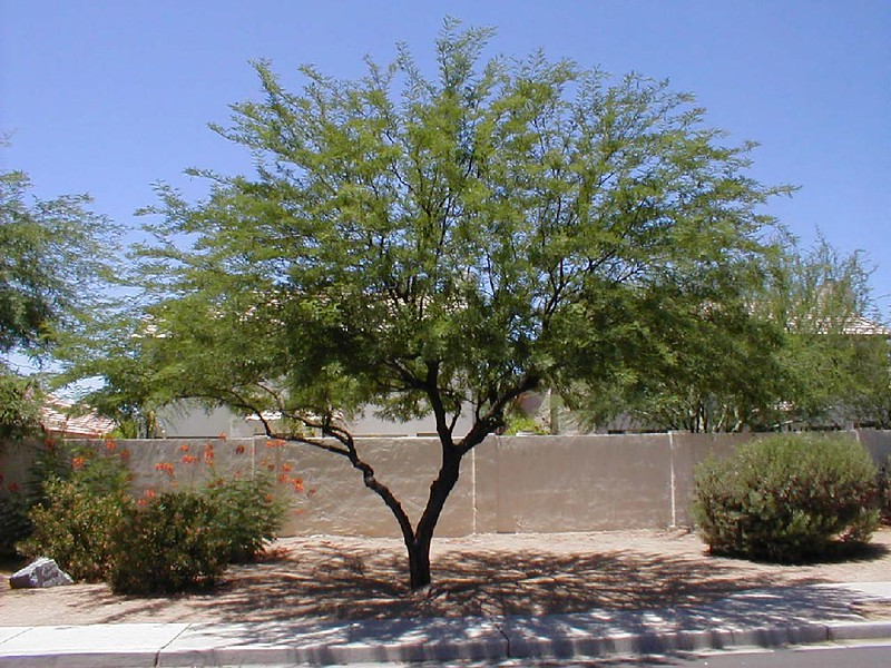 Prosopis chilenis