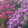 Lagerstoemia indica - flowers