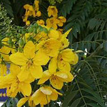 Cassia leptophylla - flower