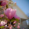 Magnolia x soulangiana - flower