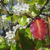 Pyrus kawakamii - fall color