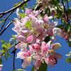Prunus s. pendula - flowers