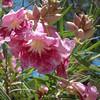 Chilopsis linearis - flower
