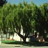 Maytenus boaria