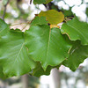 Pyrus kawakammii - foliage