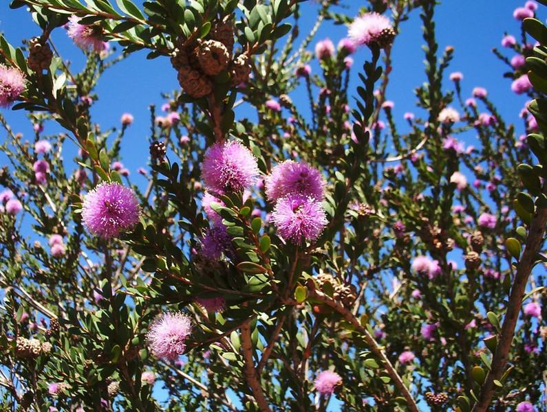 Melaleuca nesophila - foliage and flowers