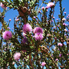 Melaleuca nesophila - foliage and flowers