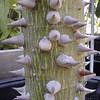 Ceiba (Chorisia) speciosa - bark
