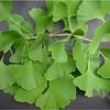 Ginkgo biloba - spring foliage