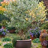 Olea 'Majestic Beauty'