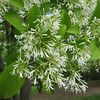 Chionanthus retusus - flower