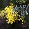 Acacia baileyana - flower